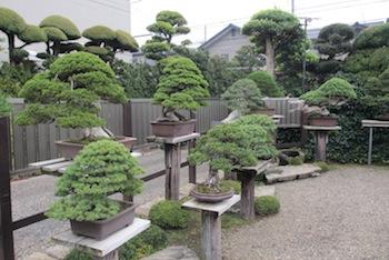 Masahiko Kimuras Bonsai garden Bonsai Empire