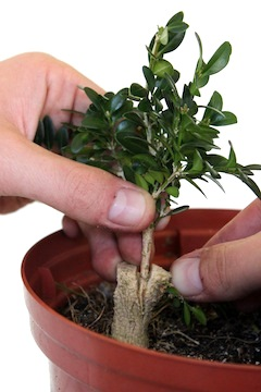 Top graft on a bonsai