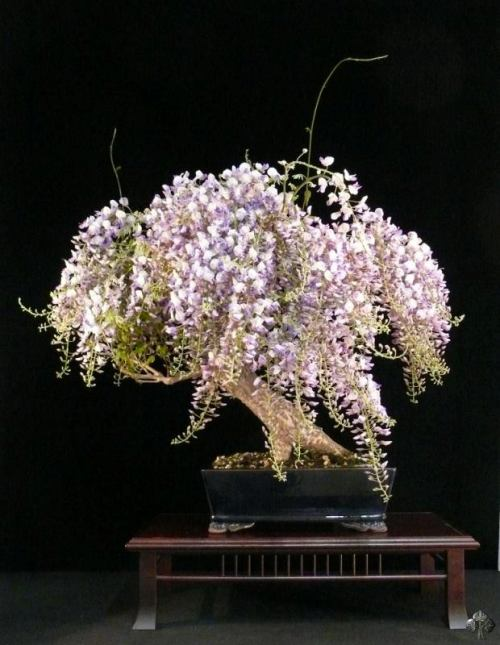 Top 10 flowering bonsai trees bonsai empire wisteria bonsai with flowers mightylinksfo