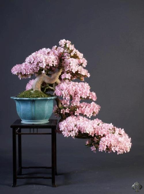 Cascade flowering Bonsai