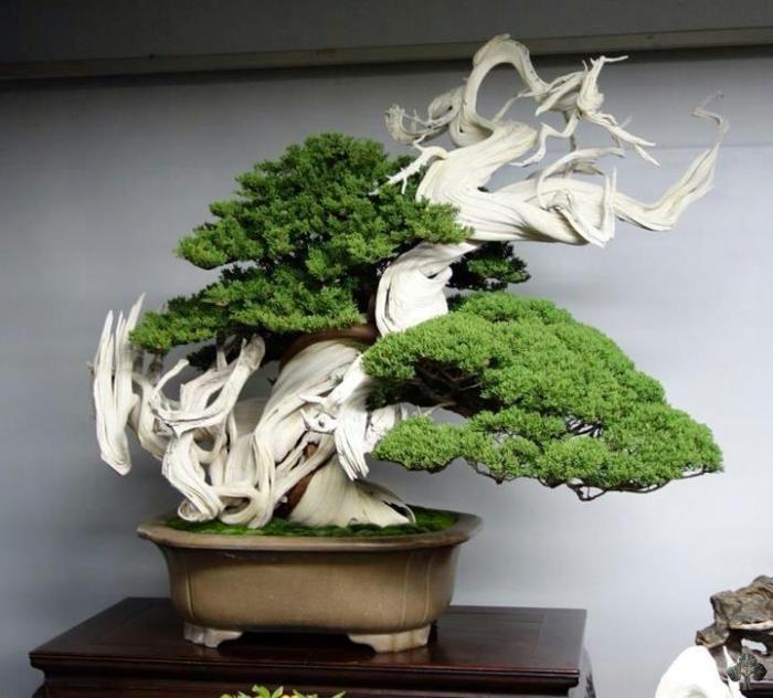 Top 10: Juniper Bonsai trees - Bonsai Empire