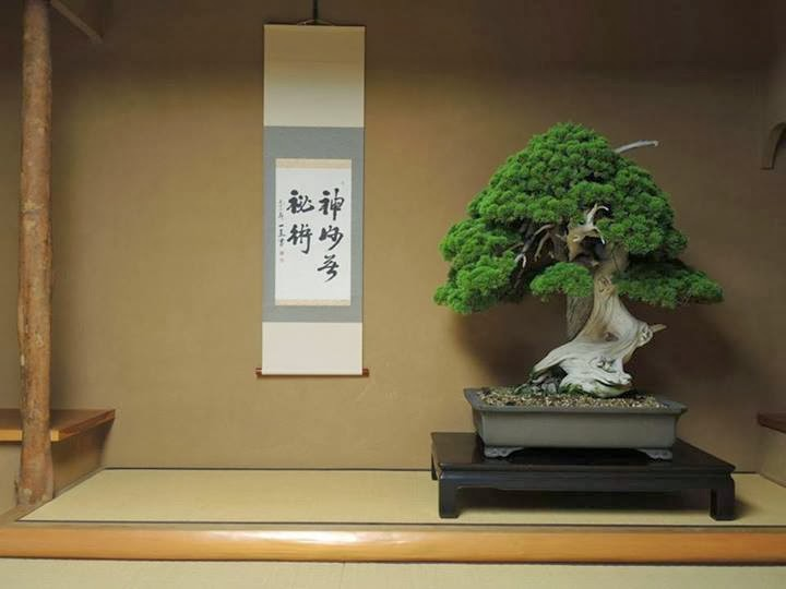 Mature bonzai trees