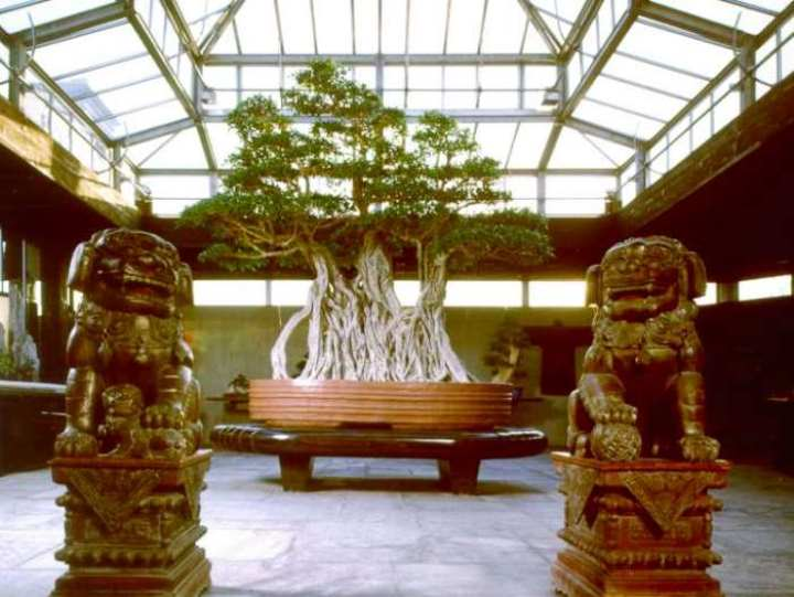 1000 year old Ficus Bonsai