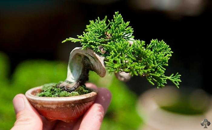 Top 10: Juniper Bonsai trees - Bonsai Empire