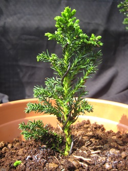 Grow Trees From Seed As Bonsai Cultivation Technique