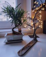 Repotting Podocarpus Macrophyllus Bonsai Forum Bonsai Empire