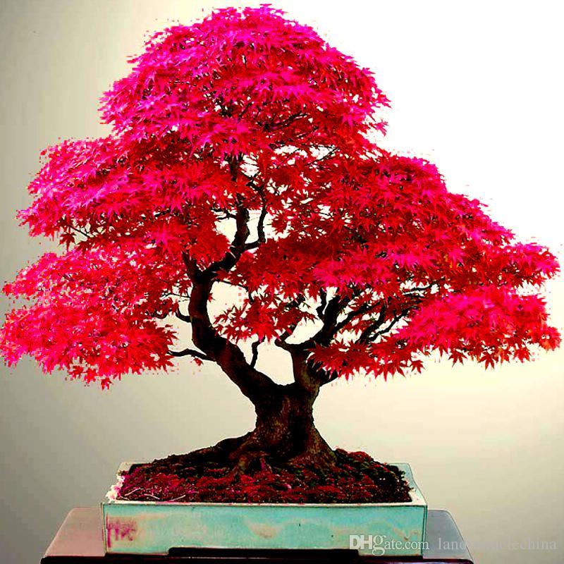 Japanese Maple In Barcelona Re Bonsai Forum Bonsai Empire