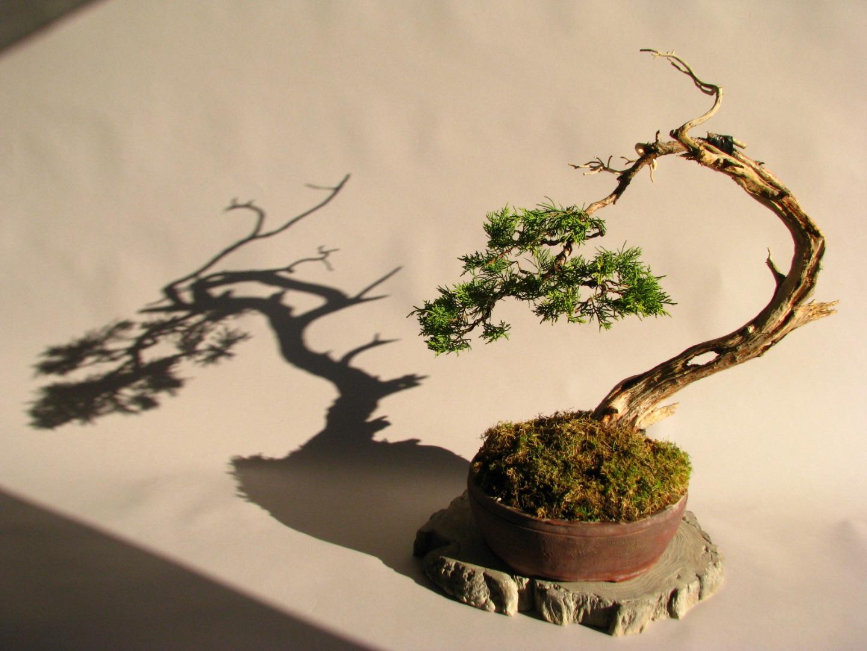 Potentilla Fruticosa Bonsai Forum Bonsai Empire